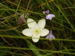 Marsh grass of parnassus. Photo by WDNR.